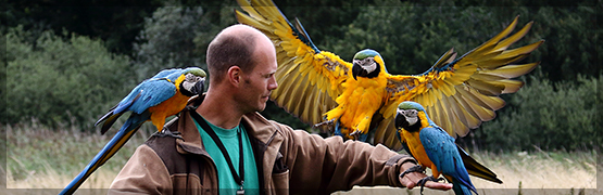 DK: Blågul Ara; UK: Blue-and-yellow Macaw; DE: Gelbbrustara, © JYSfoto